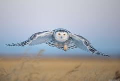 Snowy owl (andrériis) Tags: canada saskatchewan winter snowy owl canon 500mm focus goldenhour hunting