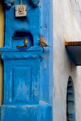 Ek Chidya....Anek Chidya (Ashmalikphotography) Tags: chidya sparrow travel travelphotography lovefortravel jodhpur religion faith birds blue colors bluecity colorsofindia