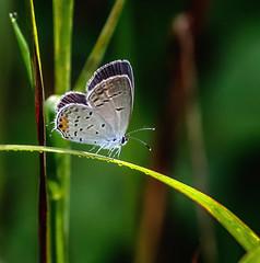 Dew Dancer (Portraying Life, LLC) Tags: dbg6 da3004 hd14tc k1mkii michigan pentax ricoh unitedstates butterfly closecrop handheld nativelighting hiddenlakegardens meadow dew morning sun