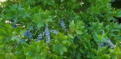 Bayberry...Myrica Pensylvanica (standhisround) Tags: fabulousfoliage leaves berries bayberry nature rbg royalbotanicalgardens kewgardens kew london uk myricapensylvanica green foliage shrubs shrub waxed bluepurple fruit