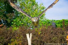 owl (deveronclarijs) Tags: dieren dierentuin diergaarde dier animal animals bird birds vogel vogels owl uil nederland nl holland blijdorp rotterdam nikon nikond5300 d5300 nikoneurope europa birdshow show vogelshow zoo