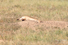 Black-footed Ferret dives into a burrow