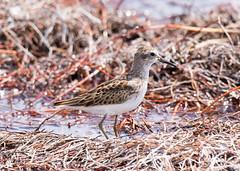Pectoral Sandpiper (Tony CC Gray) Tags: birds tonygray canon floridakeys brokenbridge westsummerlandkey sandpiper pectoralsandpiper