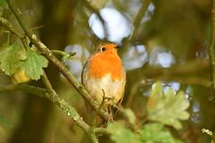 A Robin enjoying the morning sunrise at Wigan Flashes. (stevencarruthers93) Tags: wigan wiganflashes greenheart nature wildlife naturephotography wildlifephotography autumnwatch springwatch