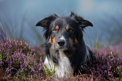 In flowers (Flemming Andersen) Tags: portrait pet nature dog bordercollie outdoor yatzy hund animal