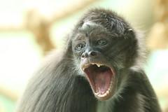Brown Spider Monkey (charliejb) Tags: bristol bristolzoogardens bristolzoo 2018 wildlife mammal clifton primate spidermonkey monkey brownspidermonkey teeth mouth yawn fur furry furred