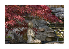 Budda,s Tree (prendergasttony) Tags: budda tree red leaves nikon d7200 nature garden water waterfall pond pool shade cool acer