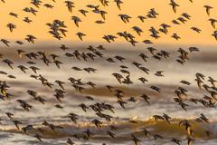 Birds of a feather flock together (Kevin Fox D500) Tags: sanderling flock sunrise sun goldenhour orange stoneharbor stoneharborpoint newjersey sigma150600sport sigma shorebirds shorebird nature nikond500 nikon