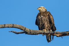 Immature Bald Eagle (Lynn Tweedie) Tags: baldeagle ef400mm56lusm tail canon eagle ngc animal loessbluffsconservationarea blue 7dmarkii missouri bird tree sky feathers eye beak juvenile eos