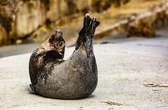 18A_1267 (Mark Ritter) Tags: seal seals macro lajolla california