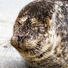 18A_1250-Edit (Mark Ritter) Tags: seal seals macro lajolla california