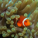 Aneomonefish