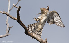 Landing Gear Deployed (Immature Coopers Hawk) (Mitch Vanbeekum Photography) Tags: coopers hawk coopershawk accipitercooperii immature young inflight flying landing fly wings sky tree limbs flight mitchvanbeekum mitchvanbeekumcom canon14teleconvertermkiii canoneos1dx canonef500mmf4lisiiusm statelinelookout alpine newjersey nj