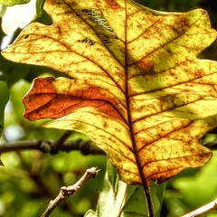 Oak Leaf (clarkcg photography) Tags: fall leaf oak yellow orange light sunlight closeup single tree leaves veins stem branch lookingcloseonfriday autumn