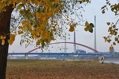 Duisburger Rheinwiesen im Herbst. (sabinebeu) Tags: pont fall autumne autumn sabinebeu jaun yellow gelb herbst brückedersolidarität bridge brücke rheinhausen rheinwiesen rhein duisburg ruhrgebiet