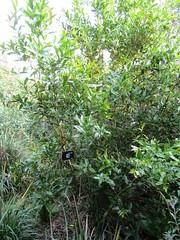 Berberis negeriana (wallygrom) Tags: england westsussex haywardsheath handcross nymans nymansgarden nt nationaltrust