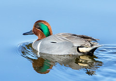 Green Winged Teal (Ed Sivon) Tags: america canon nature lasvegas wildlife wild western water southwest sun desert duck clarkcounty vegas bird flickr green henderson nevada preserve