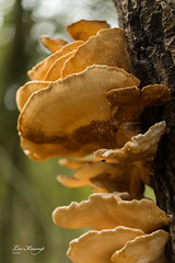 Layers of mushroom | Zwavelzwam (Leo Kramp) Tags: 2018 wwwleokrampfotografienl amsterdamsewaterleidingduinen manfrotto3wayheadmhxpro3w gitzogt3542ltripod loweproprotactic450awcamo leokrampfotografie leokramp vogelenzang nederland nl