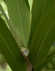 Hyla in Palmetto (siddarth.machado) Tags: frog amphibians treefrog herpetofauna florida gainesville morningside pineflatwood savanna