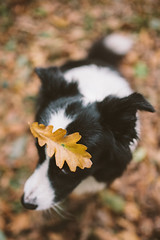 OCT-19 - The King of Hide and Seek (Macro_Polo) Tags: dog border collie fall leaves