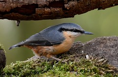 Nuthatch (davy ren2) Tags: d500 nikon nature photography wildlife