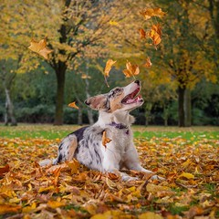 Autumn (Chris Willis 10) Tags: will autumn leaves star dog pets animal outdoors cute leaf purebreddog nature canine yellow parkmanmadespace friendship brown domesticanimals mammal puppy grass fun happiness