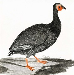 A Guinea Fowl by Johan Teyler (1648-1709). Original from the Rijks Museum. Digitally enhanced by rawpixel.