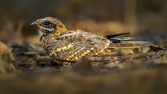 Beauty of The Nature (asifsherazi) Tags: slendertailednightjar lakebaringo kenya asifsherazi wildlife bird