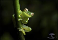 Espadarana prosoblepon (Ana O.D.) Tags: glassfrog frog glass green amphibian centrolenidae nature wildlife animal fauna naturaleza rana cristal anfibios mindo ecuador canon 5dmark4 canon100mmmacro 100mm macro