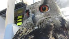 Clyde (billnbenj) Tags: barrow cumbria video owl eurasianeagleowl raptor birdofprey