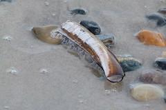 Amerikansk knivmussla, skal (evisdotter) Tags: knivmussla skal razorclam seashell strand beach nature sooc macro grenen skagen danmark ensisdirectus
