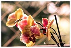 Orquidea (Orchidaceae) (Claudio Arriens) Tags: orquidea canoneos40d planta brasil natureza nature flor orchidaceae carlzeiss tessar 50mm m42 manuallens