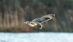 Short-Eared Owl  Hunting (Steve (Hooky) Waddingham) Tags: animal countryside bird british nature flight wild wildlife prey owl mice voles