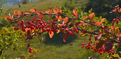 Barberry (МирославСтаменов) Tags: russia kislovodsk caucasus barberry shrub shoot branch fruit