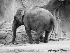 Big nose (François Tomasi) Tags: françoistomasi tomasiphotography justedutalent zoo parczoologique zoodelapalmyre lapalmyre charentemaritime sudouest france europe french monochrome blackandwhite noiretblanc iso lights light lumière filtre automne 2018 novembre photo photographie photography photoshop digital numérique pointdevue pointofview pov big nose trompe