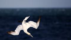 Diving Gannet. (Chris Kilpatrick) Tags: chris canon canon7dmk2 outdoor wildlife nature bird gannet diving springwatch isleofman irishsea pointofayre naturereserve sigma150mm600mm