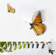the last of our 5 monarch butterflies has flown today (marianna_armata) Tags: monarch caterpillar chrysalis metamorphosis change timelapse life motion blur onwhite mariannaarmata