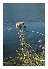 Entoilée... (DavidB1977) Tags: fujifilm x100f france hautsdefrance picardie oise commelles orrylaville étangs fleur