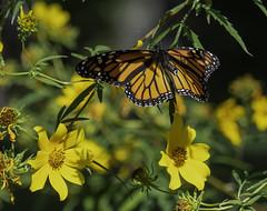 MonarchButterfly_SAF7667 (sara97) Tags: danausplexippus butterfly copyright©2018saraannefinke endangered insect missouri monarch monarchbutterfly nature photobysaraannefinke pollinator saintlouis flight inflight