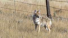 Coyote (AmyEHunt) Tags: coyote canine animal wildlife mammal nature wild fence wire grass prairie wyoming laramie wood canon
