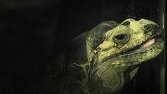 Pant for the last ray of sunshine (Renate Bomm) Tags: fauna fe70300mmf4556goss iguana iguanaverde iguanacomum iguanecommun kölnerzoo leguan renatebomm reptile sonyilce6000 teyúiguane tier zoo nashornleguan cycluracornuta