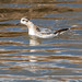 Grey Phalarope at Keyhaven Marshes