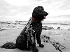 Benni, the Sea Dog (Bennilover) Tags: 52weeksfordogs benni labradoodle lagunabeach seaweed posing red challenge sand waves