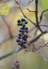 Autumn in NY (hmthelords) Tags: fallleaves wildgrapes dreamy