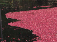PA060347 (karsheg) Tags: bogs cranberrybogs cranberries harvest nature newjersey parks stateparks brendanbyrnestateforest whitesbog outdoors fall seasons industry reflections