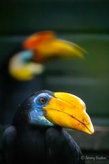 My Mate (JKmedia) Tags: bird hornbill bill beak colourful boultonphotography paigntonzoo avian sonyrx10iii 2018 yellow