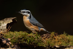 Red Breasted Nuthatch (NicoleW0000) Tags: redbreastednuthatch nuthatch songbird bird nature wildlife photography moss pinecone bark