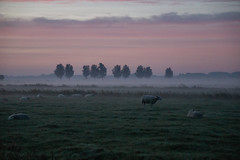 last dream (Wöwwesch) Tags: sheep morning pastures foggy dreaming sky colors clouds landscape nature dutch trees autumn