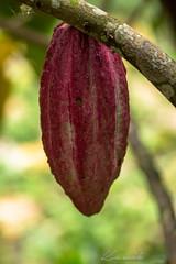 IMG_1826 (Kawikart) Tags: kawikart honduras lunadelpuente sanisidro santacruzdeyojoa camping naturallighting naturaleza nature paradise cocoa chocolate saliavivirsaliavivirhondurasestuya