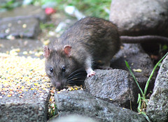 A visit from Ratty. (the.haggishunter) Tags: mammal rodent rat brown